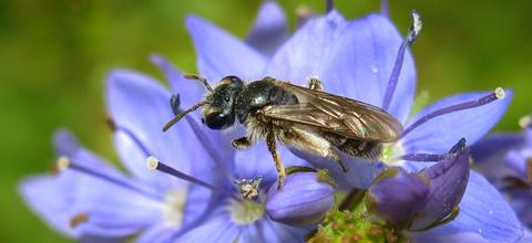 Vortrag über Wildbienen