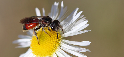 Blutbienen sind Kuckucksbienen